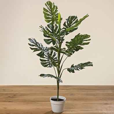 Philodendron Monstera Fensterblatt im Topf 110 cm (1002244)